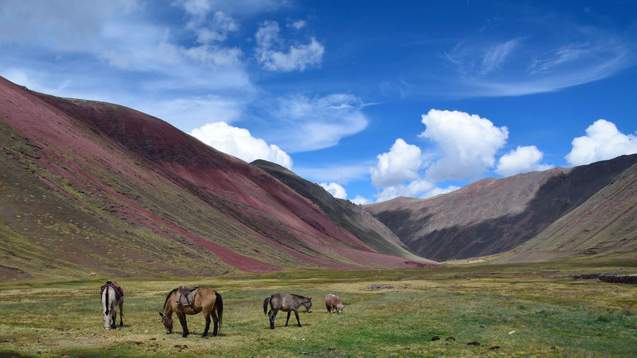 Wild horses in the Red Valley, Vinicunca, Perù Peru Red Valley Animal Animal Themes Animal Wildlife Beauty In Nature Cloud - Sky Domestic Environment Field Group Of Animals Herbivorous Horse Land Landscape Livestock Mammal Mountain Mountain Range No People Outdoors Pets Scenics - Nature Sky Vertebrate The Great Outdoors - 2018 EyeEm Awards
