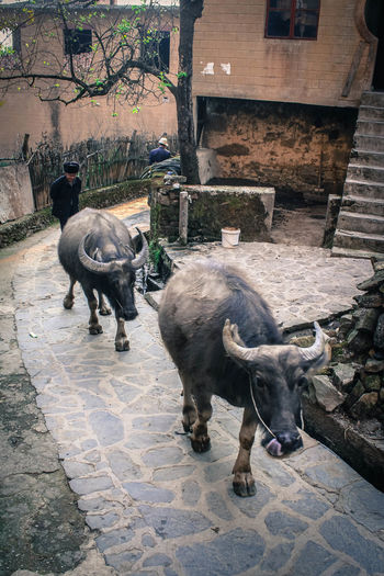 Chinese village with bulls. Chinese Village Arrowtown Chinese Village Farmer Animal Themes Animals In Village Bulls Bulls On The Street China Day Domestic Animals Mammal Outdoors Village