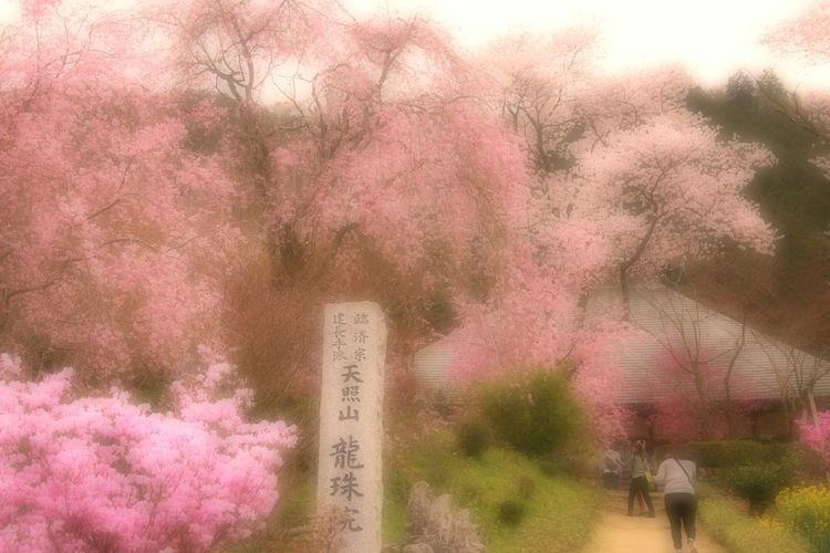 Showcase April Japan Spring 春 Spring Time Bokeheffect Spring Colours Bokeh Flowers Blossom 桜 Sakura Cherry Blossoms Hello World Japanese Temple Cloudy