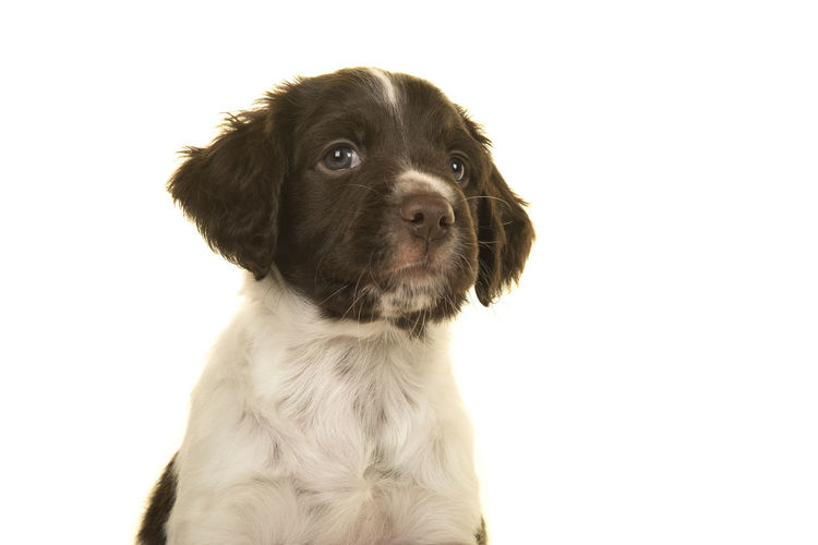 Portrait of a small munsterlander puppy dog on a white background looking up and away Heidewachtel Kleiner Münsterländer Small Münsterlander One Animal Domestic Pets Canine Animal Themes Animal Dog Studio Shot Young Animal White Background Puppy Side View Looking Up