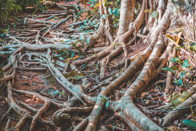 Tree roots in forest