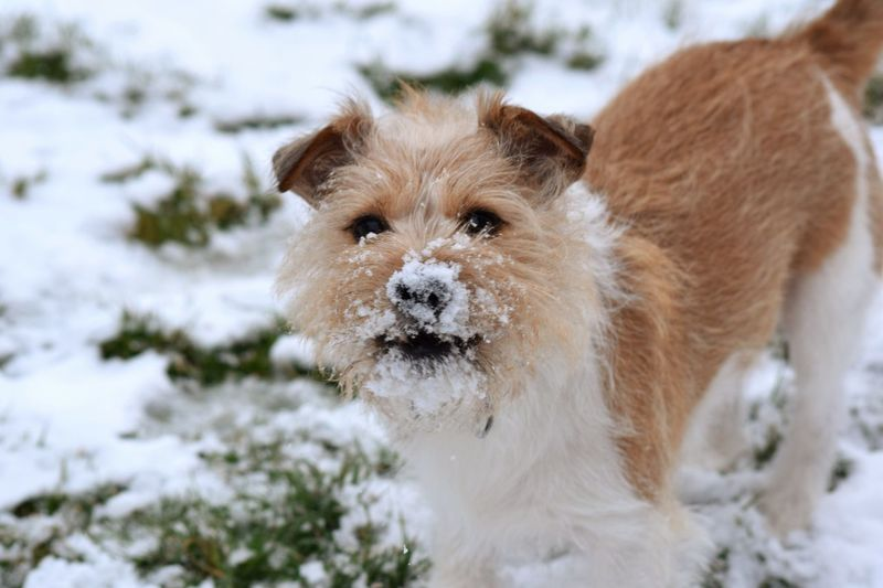 snowball fight dog It's A Dogs Life ❤ Dogs Of Winter Love Snow ❄ Dogs Jack Russell Dogs Of EyeEm Content Freshness Delicate Shaddow And Light Shaddow In Light Pets Snow Portrait Ear Cold Temperature Beauty Winter Dog Looking At Camera Water Lap Dog Terrier Teeth Puppy Jack Russell Terrier Pampered Pets Canine Purebred Dog