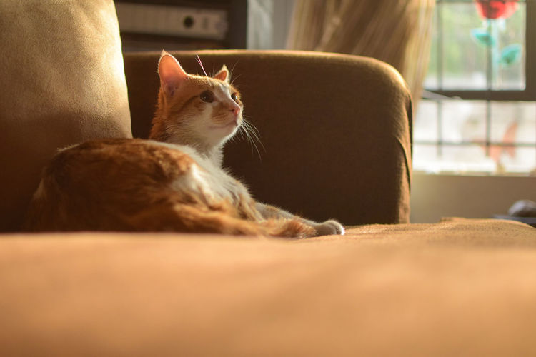 Nala Banana Brown Eyes Cat Model Cats Of EyeEm EyeEm Best Shots Ginger Cat Animal Animal Themes Cat Cat Lovers Cat Photography Domestic Animals Domestic Cat Feline Indoors  Looking Mammal No People One Animal Pets Relaxation Resting Selective Focus Sofa Vertebrate Whisker