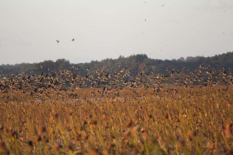 Birds Nature Wildgoose