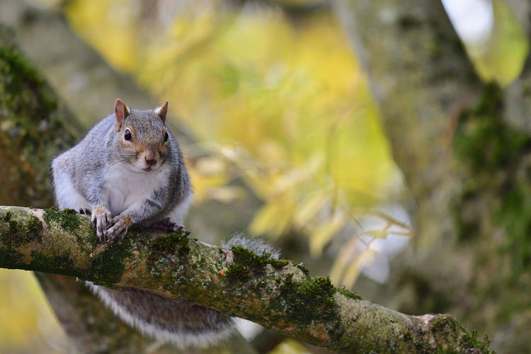 Close-up of a grey squirrel on a branch