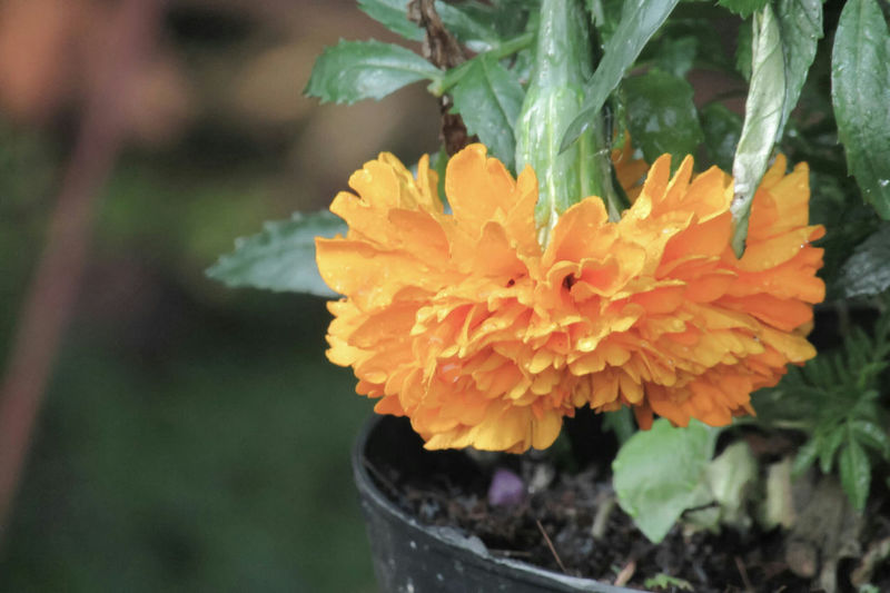 Close-up of orange flowers blooming outdoors
