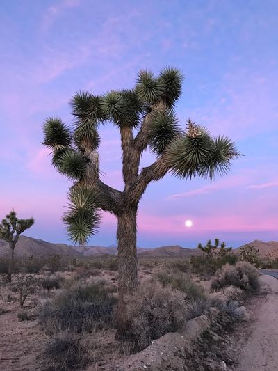 Super moon in Joshua Tree Joshua Tree National Park Yucca Sunrise Moon Tree Nature Beauty In Nature Growth Tranquility Sky No People Scenics Outdoors Landscape