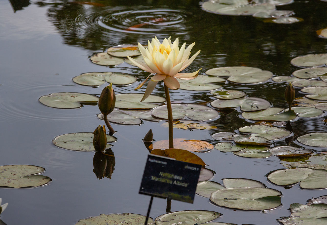 water, flower, water lily, plant, flowering plant, beauty in nature, lake, leaf, plant part, nature, lily, vulnerability, floating, fragility, reflection, floating on water, lotus water lily, no people, outdoors, flower head, leaves