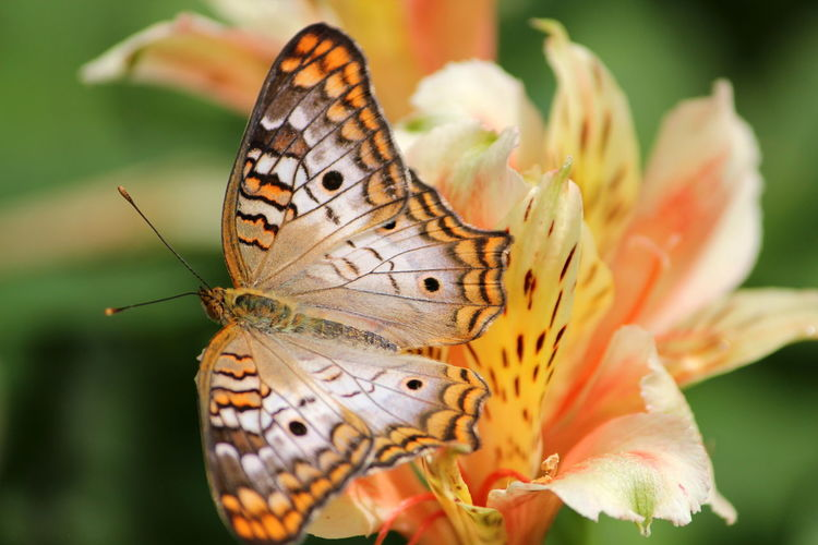 Animal Animal Themes Animal Wildlife Animal Wing Animals In The Wild Beauty In Nature Butterfly Butterfly - Insect Close-up Flower Flower Head Flowering Plant Fragility Freshness Insect Invertebrate Nature No People One Animal Outdoors Petal Plant Pollen Pollination Vulnerability