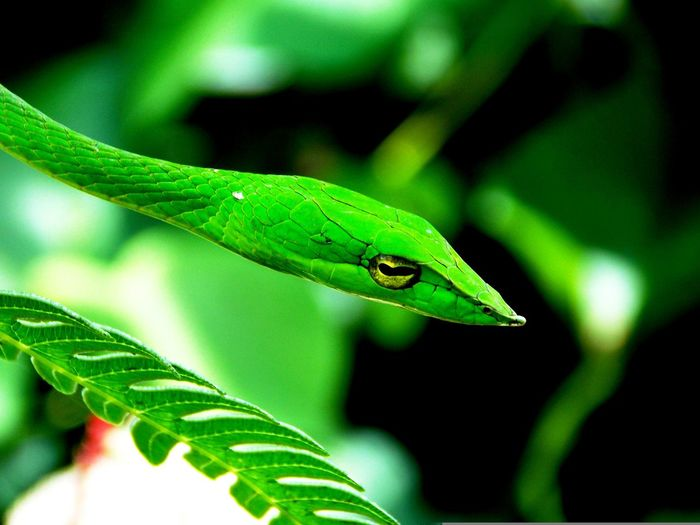 Green Vine Snake #agumbe #greenvinesnake Animal Wildlife Beauty In Nature Close-up Green Color Outdoors Reptile