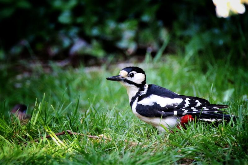 Woodpecker Bird Animals In The Wild One Animal Animal Themes Animal Wildlife Grass Nature Nature's Diversities Year Cycle Moment Of Silence EyeEm Best Shots - Nature EyeEm Nature Lover From My Point Of View Check This Out Nahrungsaufnahme Outdoors