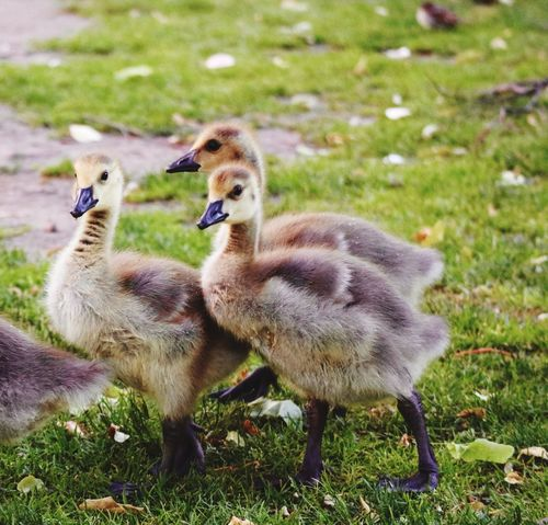 3 Curious Goslings Looking a t Camera Cute Cute Baby Animals Baby Animals Goslings Gosling EyeEm Animal Lover EyeEm Best Shots - Nature City Park Nature In The City Boston Public Garden  Boston Massachusetts Curious Looking At Camera From My Point Of View