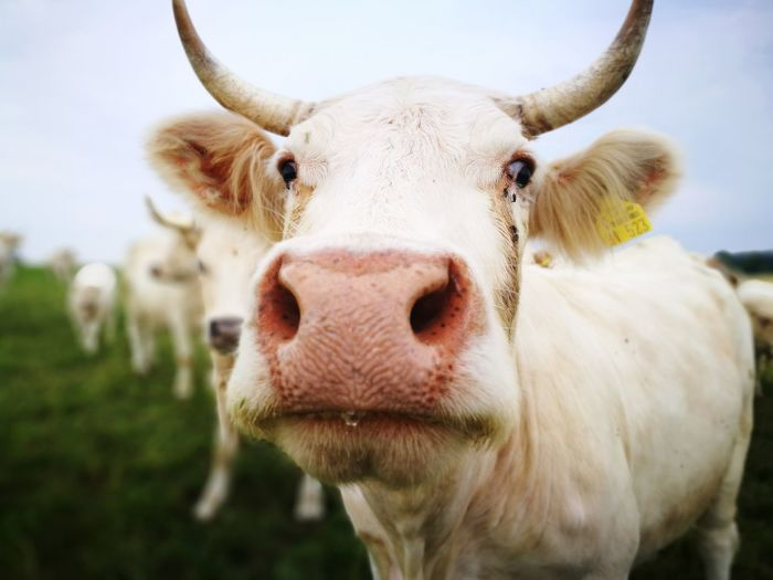 White cow EyeEm Selects Rural Scene Portrait Agriculture Cow Looking At Camera Cattle Taurus Farm Close-up Livestock Bull - Animal Horned