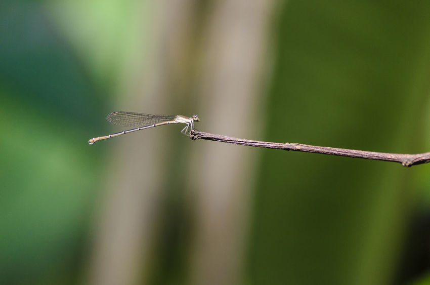 Amazon Close-up Damselfly Day Dragonfly Insect Insect Photography Insects  Nature No People One Animal Outdoors Peru Puerto Maldonado Tambopata Twig Wildlife