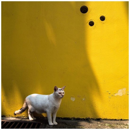 Spots Spots Street Cat Yellow Wall Cat Street Photography Emyem Best Fotoshoot Urbanphotography EmyGuerreroFotografia Animal Mammal Animal Themes Domestic Pets