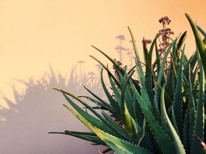 Hello World Showcase: February Flowers Agave Warm Colors Nature Nature Photography Minimalism Secret Garden Winter Garden EyeEm Nature Lover TheWeekOnEyeEM Green Green Leaves Agave Plant Leaves Shadow Shadows