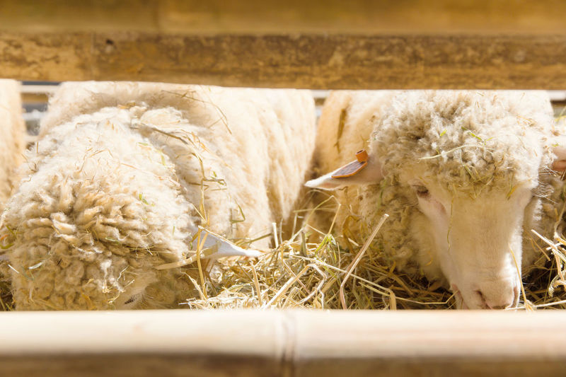 Sheep grazing in the farm Grazing Sheep Animal Themes Close-up Day Domestic Animals Grazing Animals Hay Indoors  Livestock Mammal No People Sheep Sheep Farm Sheeps Straw
