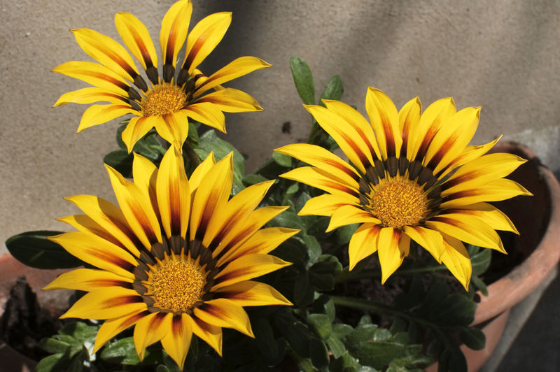 Close-up of gazania flowers blooming in pots