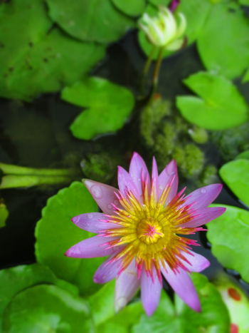 Lotus flower Beauty In Nature Blooming Close-up Day Flower Flower Head Fragility Freshness Green Color Growth Leaf Lotus Water Lily Nature No People Outdoors Petal Pink Color Plant Water ดอกบัว