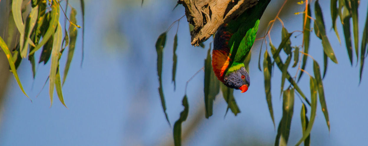 Rainbow Lorikeet - Trichoglossus moluccanus Hanging around Adobe Animal Themes Animal Wildlife Animals In The Wild Beautiful Feathers Beauty In Nature Bird Birding Lightroom Cc Native Birds Native Wildlife Nature One Animal Outdoors Perched Photowalk Sony Photography Upsidedown