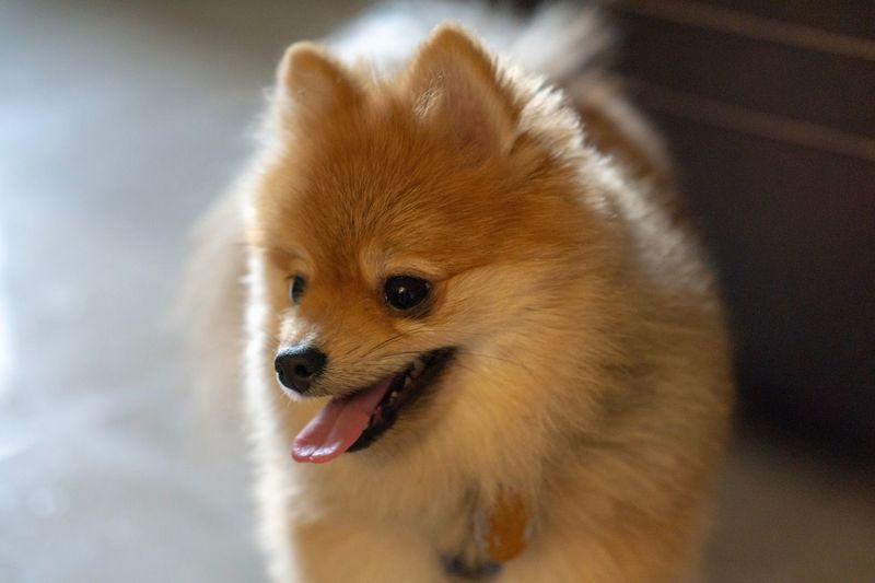 Pomeranian One Animal Animal Themes Animal Mammal Vertebrate Domestic Pets Dog Canine Close-up Domestic Animals Indoors  Focus On Foreground No People Pomeranian Mouth Brown Mouth Open Animal Wildlife Looking Away