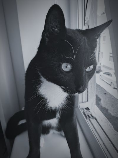 Black And White Pets Domestic Cat Close-up Feline Whisker Cat At Home Domestic Animals Animal Face Kitten Carnivora Animal Mouth