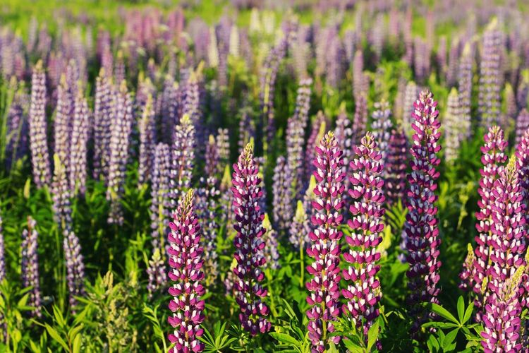 lupins Lupines