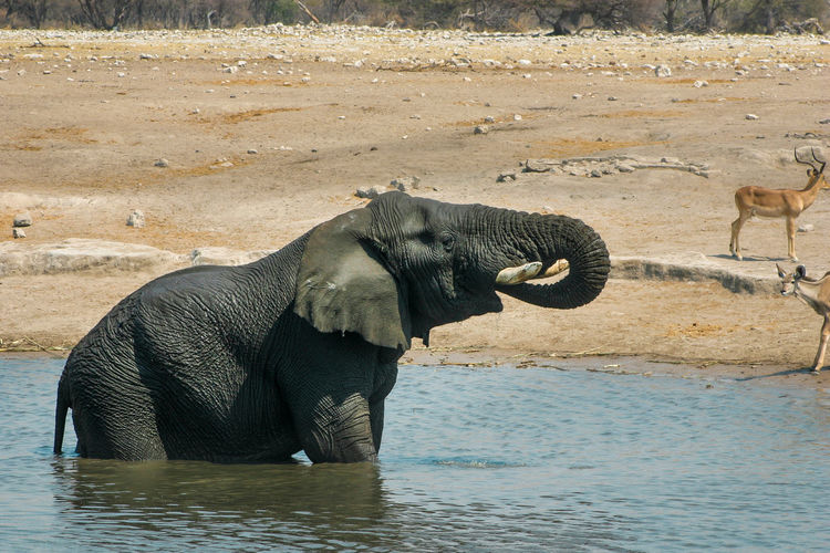 Elephant in water