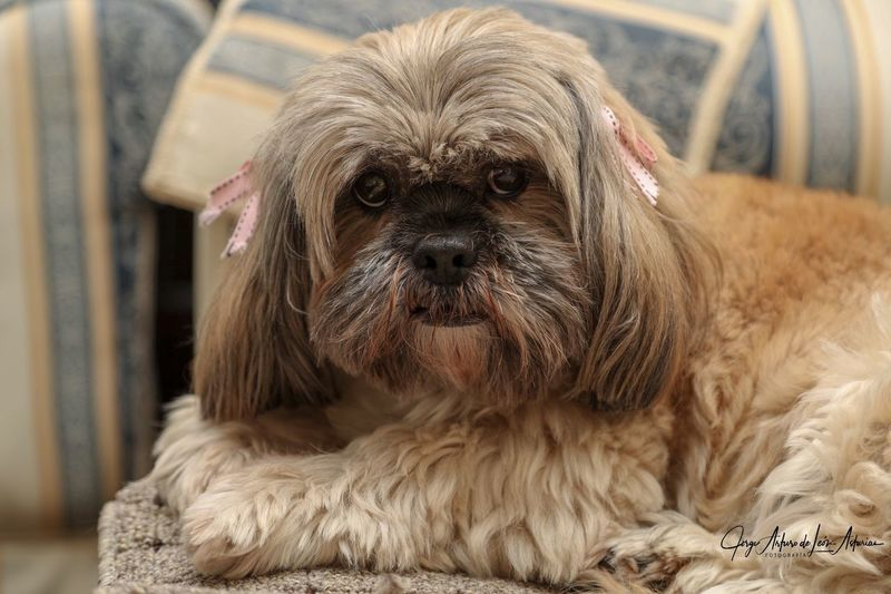 Goldie Lhasa Apso EyeEm Selects Animal Themes One Animal Animal Pets Domestic Canine Dog Looking At Camera