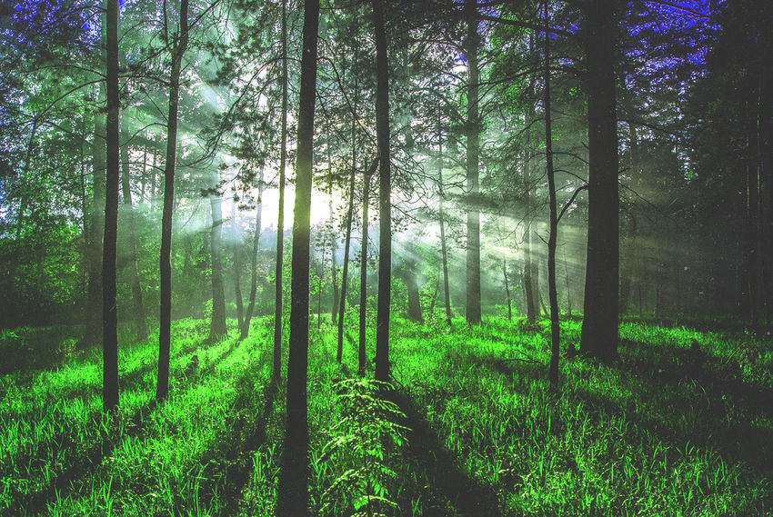 Art Photography Fog Fog In Forest Fog In The Trees Forest Grass Green Green Color Landscape Nature Tree