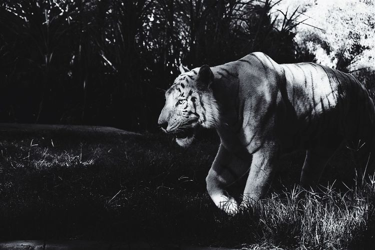 With royalty comes grace.. Shades Of Grey Apple Photos Tiger The Fan Club Vertebrate Big Cat Grass Animals In The Wild Animal Wildlife Animal Themes My Best Travel Photo