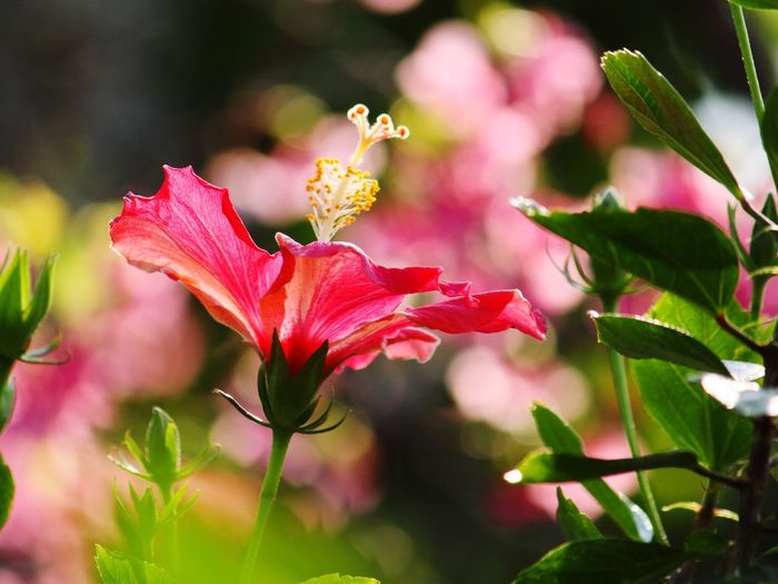 ハイビスカス Okinawa