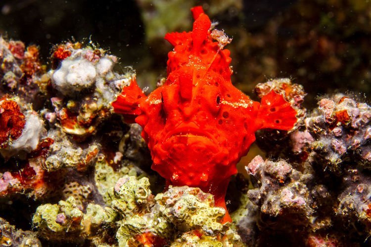 Frogfish at the Philippines. Animal Themes Animal Wildlife Animals In The Wild Beauty In Nature Close-up Coral Diving Divingphotography Macro Macro Nature Macro Photography Nature Ocean One Animal Sea Sea Life Travel Destinations Traveling UnderSea Underwater Underwater Photography Underwaterphotography Wanderlust Water