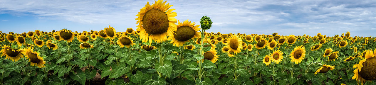 Agriculture Beauty In Nature Blooming Close-up Cloud Colour Of Life Crop  Field Flower Flower Head Fragility Freshness Growth Happy Landscape Nature Petal Pivotal Ideas Plant Rural Scene Saturdaysong_eyeemchallenge Scenics Sunflower Tranquil Scene Yellow Finding New Frontiers Summer Exploratorium