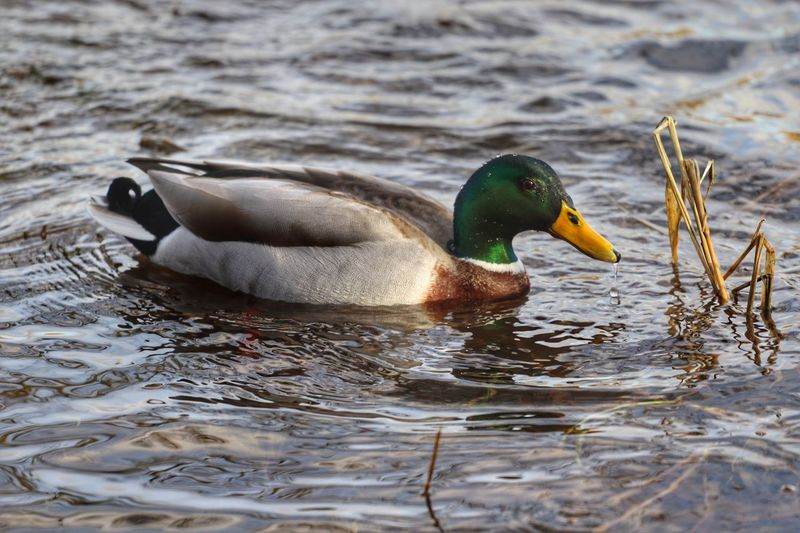Bird Animals In The Wild Swimming Animal Themes Water Lake Nature Outdoors Waterfront Duck No People Animal Wildlife Day Beauty In Nature Water Bird Close-up Cumbria Ullswater England Tranquility Ducks Ducks At The Lake