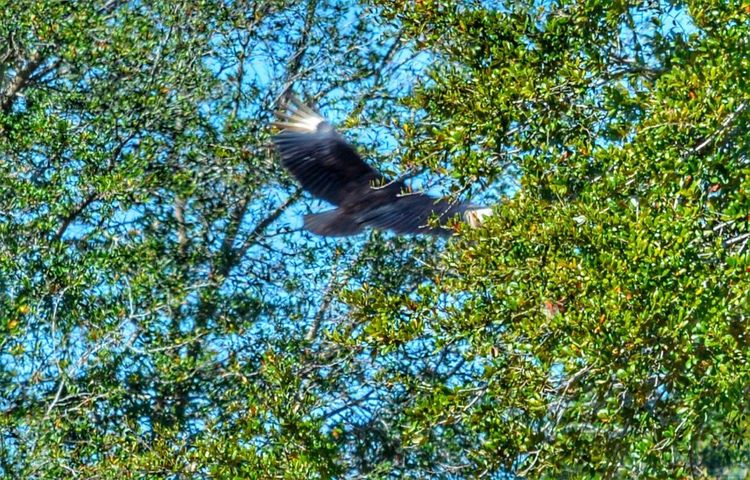 Vulture Taking Flight Low Angle View Flying One Animal Spread Wings Bird Animals In The Wild Animal Themes Tree Animal Wildlife No People Nature Mid-air Outdoors Sky Day Beauty In Nature