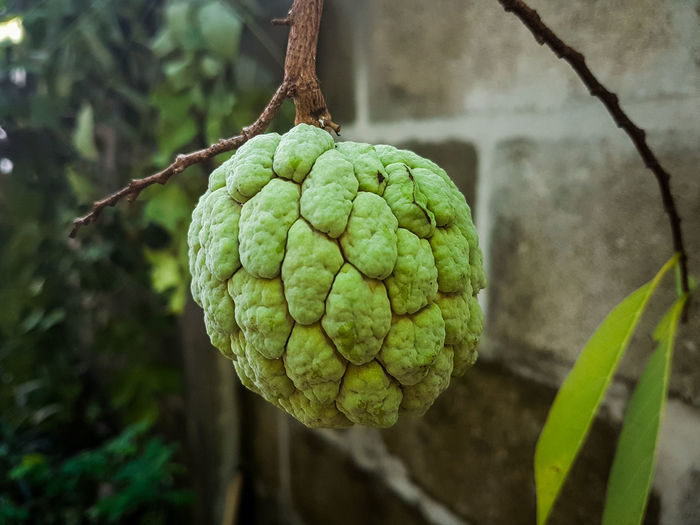 Custard Apple Hd Images