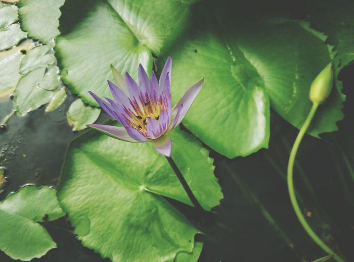 Lotus First Eyeem Photo Lotus Flower Lotus Leaf Fresh Nature Background Green