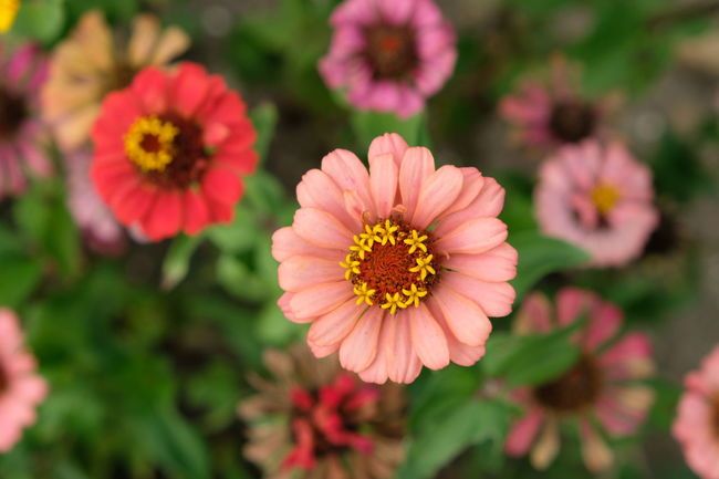 Blumen Beauty In Nature Blumenwiese Bunte Blumen Close-up Day Flower Flower Head Flowering Plant Focus On Foreground Fragility Freshness Growth Inflorescence Nature No People Outdoors Petal Pink Color Plant Pollen Vulnerability  Zinnia