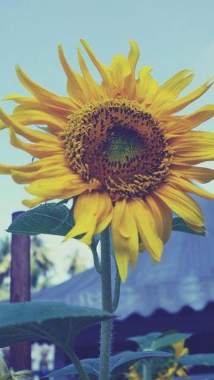 sunflowers? Flowers Holiday 谁是我的小太阳?