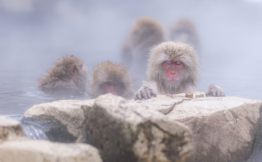 Close-Up Of Monkey In Hot Spring