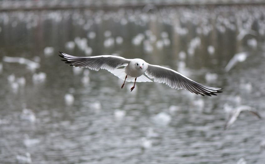 海鸥 Black-headed Gull Bird Flying Spread Wings Animal Wing Winter Animal Wildlife Animals In The Wild One Animal Bird Of Prey