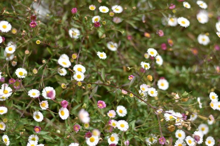 Close-up of daisies blooming at park