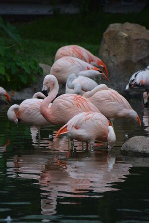 Flamingos in water. Pink birds, zoo Houston Texas. Flock, reflection, animals Zoo Animals  Zoo Animal Reflections Reflections In The Water Flamingos In Water Flamingo At The Zoo Flamingos Up Close Flamingos