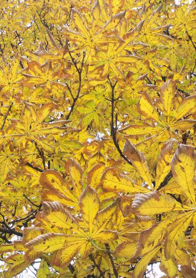 Efterår Fall Beauty Fall Colors Nature Chestnut Leaves Chestnut Tree Day Fall Fall Leaves Kastanietræ No People Yellow