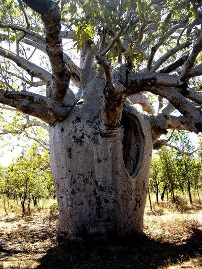 Baobab tree growing on field in forest