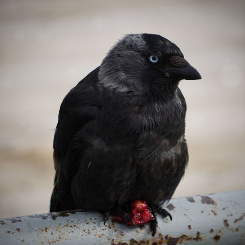 Close-up of jackdaw with prey on pipe