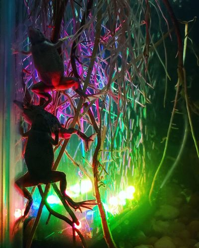 3 frogs Colorful Colors Frog Water Tank Plant Roots Silhouette Swimming Dwarf Frog Tree Illuminated Multi Colored Sky Close-up Green Color Fairy Lights Light Plant Life Light Effect Lit