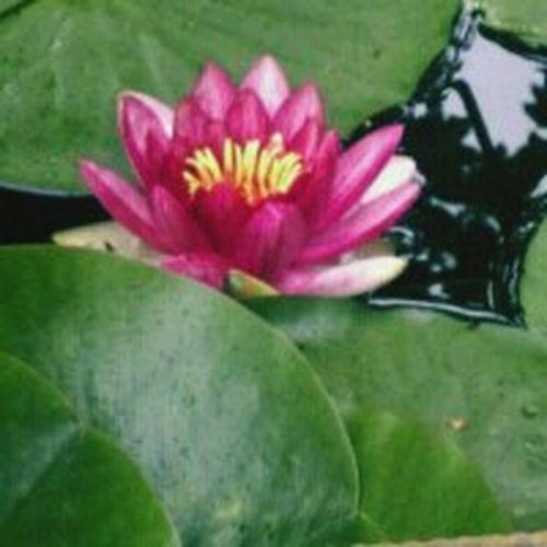 Garden pond lilypad