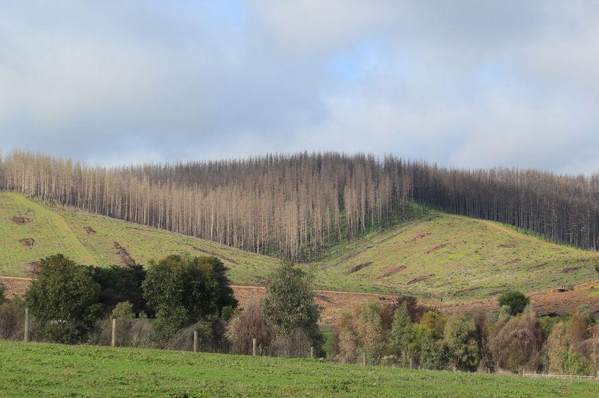 Kersbrook South Australia Fir Trees Green Green Green!  Triangles